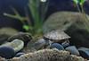 IMG_9788 (Laurent Lebois ©) Tags: laurentlebois france reptile rettile reptil рептилия tortue turtle tortoise tortuga tartaruga schildkröte черепаха chelonia sternotherus minor terrariophilie razorbackmuskturtle cinosterne