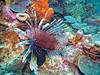 Scuba Diving (Fairyland, Soufriere), St. Lucia (Jun-2016) 04-014 (MistyTree Adventures) Tags: scubadiving caribbean stlucia soufriere panasoniclumix underwater sea water marine diving fairyland fish animal lionfish commonlionfish