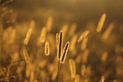 (SimonaPolp) Tags: wheat august summer summertime gold sunset field rural agricoltura nature light sun sunlight bokeh