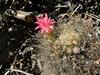 Neoporteria villosa RB2145 (Robby's Sukkulentenseite) Tags: atacama cacti cactus chile fnrrb2145 forum12 huasco ka4117s kakteen kaktus lra neoporteria rb2145 reise standort topxpflanze villosa vortrag1 vortrag2