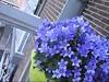 CLIP9234-034 (Rumskedi) Tags: monde世界 europa europe欧洲 belgië belgique belgien balcon campanule fauxbourdon