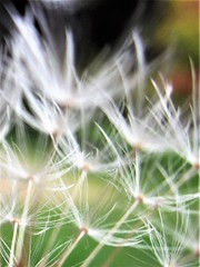 IMG_8240 (2) (Jayda Gunduz) Tags: dandelion seeds flower nature wish
