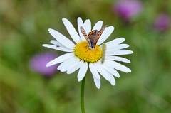 Centre of Activity (sasastro) Tags: daisy smalcopper butterfly caterpillar fly