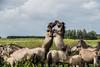 Konik Horses / Konik Paarden (Stef32Photo) Tags: staatsbosbeheer 62mm oostvaardersplassen lelystad konikpaarden konikhorses daylight daglicht daytime flevoland nederland netherlands nikon d5300 sigma18200mm sigma swphotography horses paarden grass gras green groen fighting vechten bluesky blauwelucht clouds wolken trees bomen