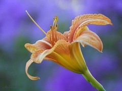 """""""Never stop dreaming"""" (NaturewithMar) Tags: 7dwf friday flower flora lily day macro coth5 sunrays5"""