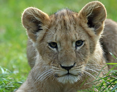 african lion Beekse Bergen BB2A0863 (j.a.kok) Tags: leeuw lion lioncub leeuwenwelp welp cub afrikaanseleeuw africanlion afrika africa animal mammal zoogdier dier pantheraleoleo beeksebergen specanimal