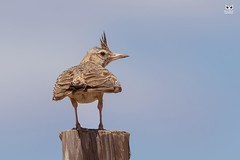 Cotovia-de-poupa, Crested lark(Galerida cristata) (Nuno Xavier Moreira) Tags: cotoviadepoupa crestedlarkgaleridacristataemliberdadewildlifenunoxavierlopesmoreirangc animals animais aves de portugal observação nature natureza selvagem pics wildlife wildnature wild photographer birds birding birdwatching em bird ao ar livre ornitologia ngc nuno xavier moreira nunoxaviermoreira liberdade national geographic all xpress us galeridacristata crestedlark