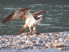 Osprey 3 (Shelley Penner) Tags: birds vancouverisland raptors osprey fisheagle fishhawk brownandwhite withprey fish wingsopen