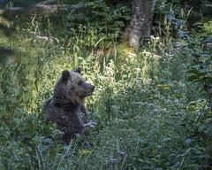 IMG_6615 (Branko.Hlad) Tags: medvedka bears gozd narava živali animals