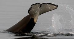 Orca, Vancouver Island (irelaia) Tags: orca vancouver island wild whale canada
