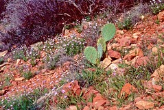 Flowered Hillside (Herculeus.) Tags: az bouldersstonerocks cactus flowersplants hills iphotooriginal places plants sedona wildflowers
