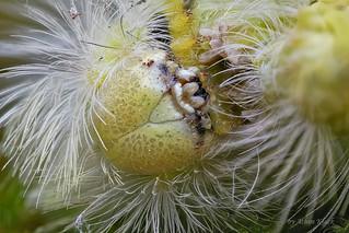 Raupe des Buchen-Streckfuß (Calliteara pudibunda) - gelbe Farbvariante