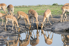 Numerous Common Impalas by a Waterhole at Chobe National Park, Botswana (D200-PAUL -- On Thanksgiving Holiday) Tags: commonimpala impalacommon commonimpalas impalascommon impala impalas aepycerosmelampus reflection reflections chobenationalpark chobe nationalpark choberiver botswana paulfernandez