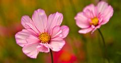 SUMMER COLOURS (chris .p) Tags: nikon d610 flowers colour summer 2017 nt nationaltrust august garden herefordshire england uk capture the weir gardens