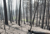 BC Wildfire 2.jpg (Electric Aura) Tags: bc wild fire burn forest charred smoke burned devastation
