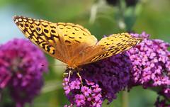 Urquhart Butterfly Garden (John Strung) Tags: butterfly canada dundas hamilton ontario urquhart urquhartbutterflygarden ca