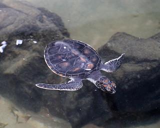 Turtle (IMG_2504b)