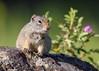 Uinta Ground Squirrel (matthewschonert) Tags: squirrel wildlife yellowstone ynp national park yellowstonenationalpark wyoming outdoor nature uinta ground uintagroundsquirrel rodent small rock flower wild virginia cascades explored explore inexplore