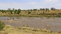 Migracao GNU - Travessia do Rio Mara 18 (Joao Pena Rebelo) Tags: tanzania gnus wildebeest migration safari serengeti wildebeests marariver
