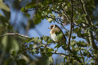 Goldfinch - Carduelis