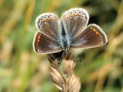 Feeling Blue (Kevin Pendragon) Tags: butterfly flight wings nectar grass green brown blue white black amazing awesome orange spots