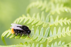 Bracken Bumble (oandrews) Tags: bee bombuslapidarius bumblebee canon canon70d canonuk fen fenland greatfen holmefen insect insects invertebrate invertebrates minibeast minibeasts nature outdoors redtailedbumblebee wildlife yaxley england unitedkingdom gb