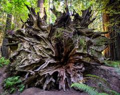 BIG roots (Dtek1701) Tags: northerncalifornia nature outside fuji fujinon fujinonxf1024f4ois ultrawide wide mirrorless fujix fujifilm xshooter xseries xmount apsc xflens parks trees westcoast redwoods roadtrip naturallighting outdooor beauty