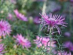 Isopogin - Maranoa Gardens (Mimi_K) Tags: maranoagardens melbourne australianplants spring flowering macro garden flower plant