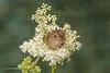 Peek-a-boo 500_0864.jpg (Mobile Lynn) Tags: nature rodents harvestmouse captive fauna mammal mammals rodent rodentia wildlife greensnorton england unitedkingdom gb coth specanimal coth5 sunrays5 ngc npc