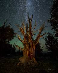 Airglow and Ancient Bristlecone Pine (Jeffrey Sullivan) Tags: ancient bristlecone pine inyo national forest county bishop california usa easternsierra astronomy astrophotography landscape nature milky way canon eos 6d photo copyright august 2016 jeff sullivan photography tree