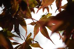 Autumn 2017 (3) (dddoc1965) Tags: dddoc davidcameronpaisleyphotographer autumn flowers plants leafs grass seeds maxwellton september12th2017
