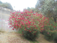 136 (en-ri) Tags: fiori flowers arbusto rosso verde foglie leaves sony sonysti