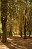 Les feuilles mortes (Baptiste [R.]) Tags: arbre tree feuillesmortes feuilles vert green orange terre chemin automne balade allée tronc écorce marronnier coucherdesoleil sunset ombre or gold doré