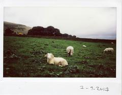 Sheepish (ronet) Tags: fuji fujiinstax200wide thursdaywalk edale field instant instax instax200wide pasture peakdistrict scanned sheep england unitedkingdom