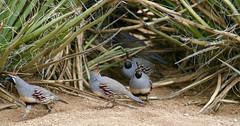 Are we leaving? Are you coming? (A Wild Western Heart) Tags: gambelsquail backyardbirds mojavedesert bird quail yucca dusk evening yardbirds