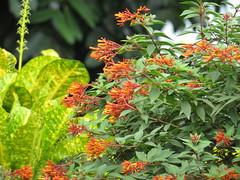 Jungle Flame (Sadot Arefin) Tags: ixoracoccinea junglegeranium flameofthewoods jungleflame garden flower beautiful canon powershot sx50hs dhaka bangladesh
