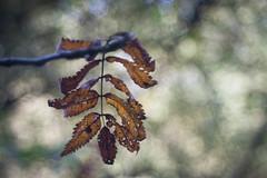 Autumn is here! (ursulamller900) Tags: pentacon2829 forest wald leaf blatt autumn herbst bokeh