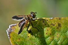 "Trichopoda pennipes ou Mouche ""à plumes"" (pablo 2011) Tags: trichopodapennipes mouche fly collectionnerlevivantautrement ngc nikonflickraward nikonpassion nikond7000 toulouse nature macro insecte insect patrickblondel"