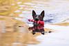 Daemon (Maria Zielonka) Tags: hund hunde hundefotografie tierfotografie dog dogs dogphotography animalphotography petphotography haustier pet mariazielonkafotografie photography shooting outdoor hamburg schäferhund shepherd shepherddog holländischerschäferhund hollandse herdershond herder malinois dutch brindle champ daemon vom flensburger land