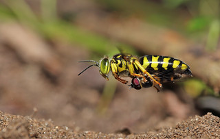 Wasp With Caterpillar