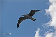 compagno di viaggio (imma.brunetti) Tags: animali uccello gabbiano becco piume ali zampe coda volare nuvole