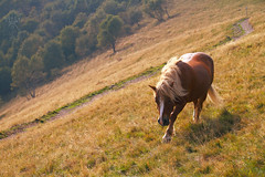 1 cavallo del Bisbino (lightsaber*) Tags: horse wild red blonde meadow path mountain monte generoso san fedele intelvi trees argegno yellow green brown september lombardia italy como landscape animal 7d