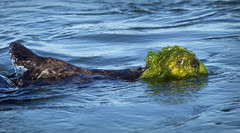 Sea Otter Pup (Ken Phenicie Jr.) Tags: seaotter pup seaweed