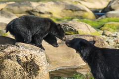 Give us a kiss (Melanie Leeson) Tags: bearcub canadianwildlife melanieleesonwildlifephotography mammals blackbear northamericanwildlife ursusamericanus mammalsofnorthamerica bearcubs britishcolumbiawildlife behaviours kissing blingsister interestingchoices z