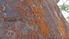 Xanthoria sp. (Tony Markham) Tags: xanthoria orangelichen orangewalllichen sunburstlichen lichen cave sandstone pattern overhang 10b 10bfiretrail dharawalnationalpark 10r 10rfiretrail firetrail trail track dharawal oharescreek