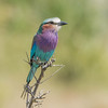 Lilac-breasted Roller (Tris Enticknap) Tags: africa tanzania lilacbreastedroller nikond750 nikkor80400mmafslens selousgamereserve coraciascaudatus