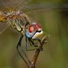 Red-veined Darter (laagwater) Tags: redveineddarter zwervendeheidelibel sympetrumfonscolombii nikond200 sigma150mmmacro