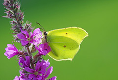 backlit brimstone (Simple_Sight) Tags: butterfly brimstone macro closeup flower blossom backlight green yellow purple pink summer