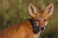 Red fox kit (davezimmerman906) Tags: baby kit redfox hecla wildlife