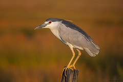 Black Crowned Night Heron (E_Rick1502) Tags:
